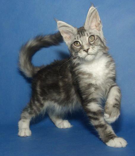 Maine coon katter til salgs